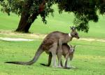 Making Joeys in Anglesea Golf Club - Great Ocean Road, Victoria, Australia