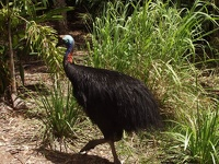 Cassowary - Bowling Green Bay National Park, Townsville, East Coast Queensland, OZ