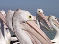 Pelicans - The Entrance, New South Wales, OZ
