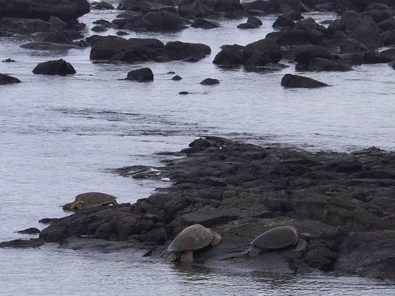 Turtels_on_Keauhou_Beach_Big_Island.jpg