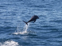 Funny Dusky Dolphin - jumping through the waters off Kaikoura, East Coast, South NZ