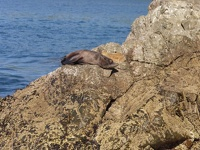 Lazy Seal - Kaikoura Peninsula, East Coast, South NZ