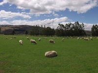 Sheep near Roxburgh - Central Otago District, South NZ