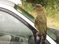 Waiting for tourists at carpark - Amusing bird 'Kea', Fox Glacier, Westland Glacier Country, South NZ