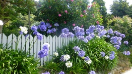 Flowered fence - Road near Te Puke Tauranga Region North New Zealand