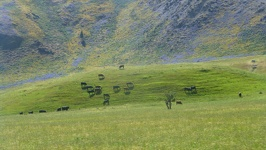 Cows on hill - Alpine Pacific Triangle New Zealand