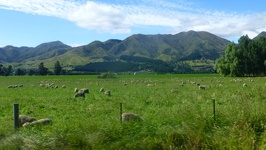 Sheep on meadow - Alpine Pacific Triangle New Zealand